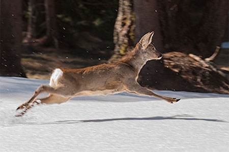 A roe running on the snow- JBLArts photography Fine Art Colours
