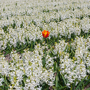 An orange tulip in a white flower field - JBLArts photography Fine Art Colours